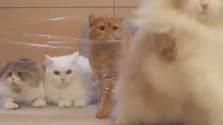مقابله گربههای محترم با یک دیوار پلاستیکی