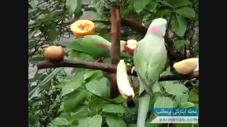 اسباب بازی ساده و کارای شاه طوطی ها