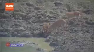 لحظه شکار آهو توسط مار پیتون حین آب خوردن
