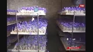 آموزش زعفران گلخانه ای (هیدروپونیک)