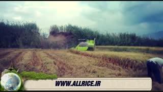 قیمت برنج ایرانی#www.allrice.ir#خرید برنج ایرانی