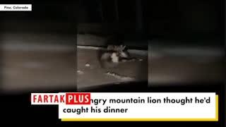 فرار گوزن از دست شیر کوهستان