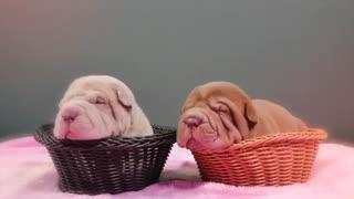 10 تا از  چروکیده ترین نژاد سگهای دنیا